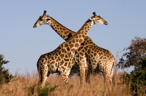 "There are two kinds of Giraffes. Two kinds of Giraffes! They look identical, herd together, do the same thing, but won't interbreed! How did this happen? This makes no evolutionary sense! It really bothers me! Pyrrho: ""It wouldn't if those pesky geneticists hadn't told you..."""